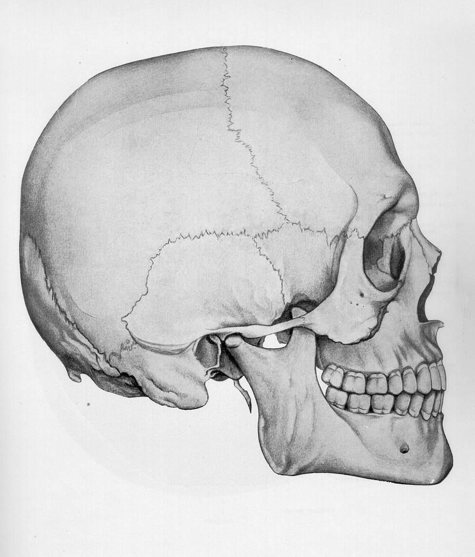 строение человеческого черепа с картинками два