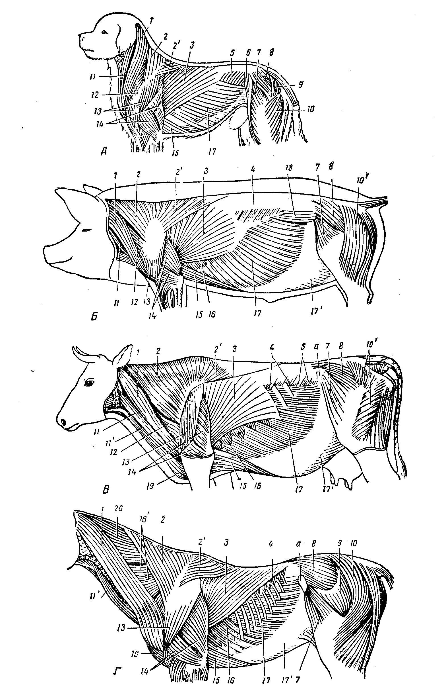 Мышцы коровы анатомия в картинках, открытки марта пожеланиями