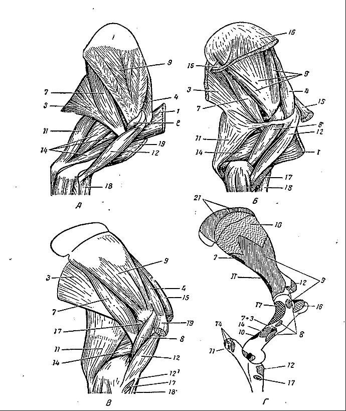 Заплюсневый сустав и мышцы действующие на него настойка на сирени для суставов рецепт