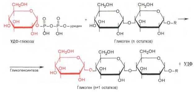 Избыток сахара превращается в гликоген при участии