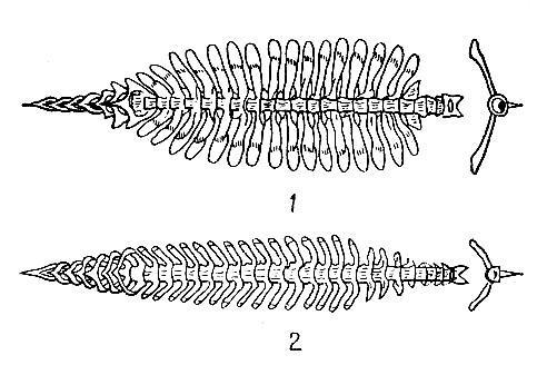 Сарганообразные длиннорылый полурыл
