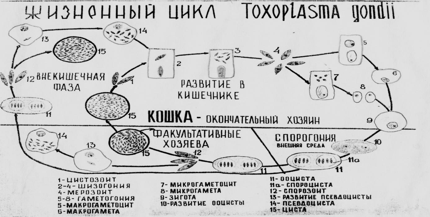Схема цикл развития малярийного плазмодия фото 292