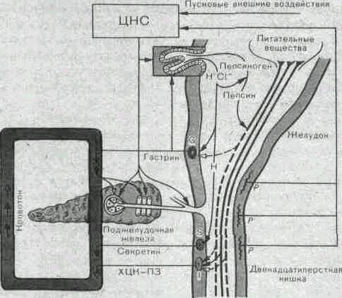 Нервно гуморальная регуляция поджелудочной железы