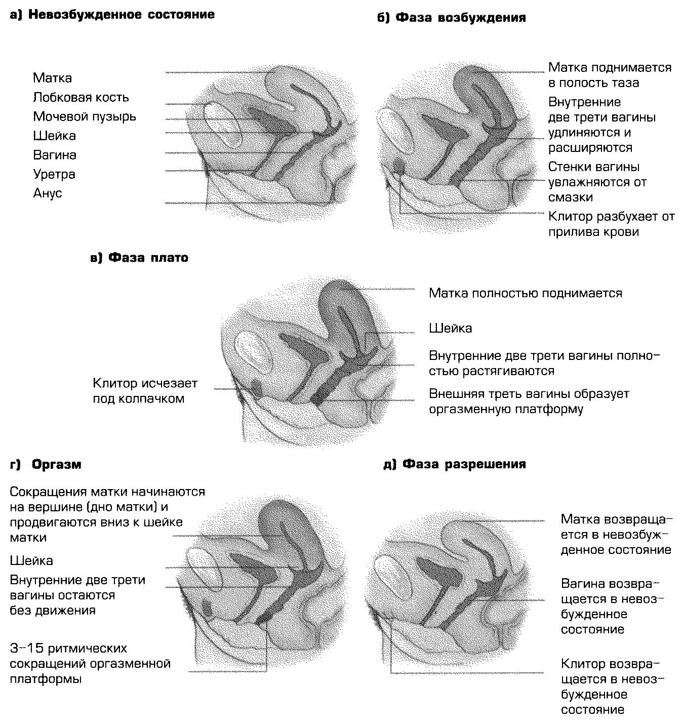 Понятие сексуального реагирования модели сексуального реагирования