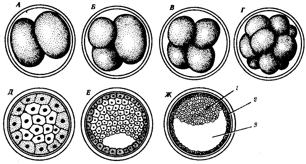Эмбриональное развитие млекопитающих реферат 8950