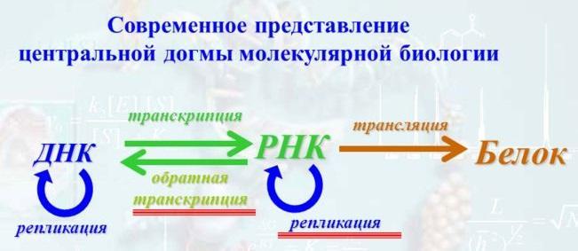 Новосибирский государственный университет Итак важнейшим процессом жизнедеятельности всех организмов от примитивных бактерий до человека является реализация генетической информации