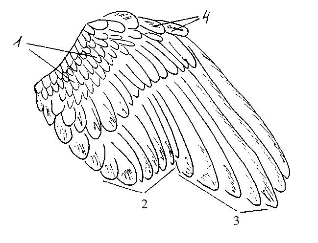 Строение крыла птицы картинка