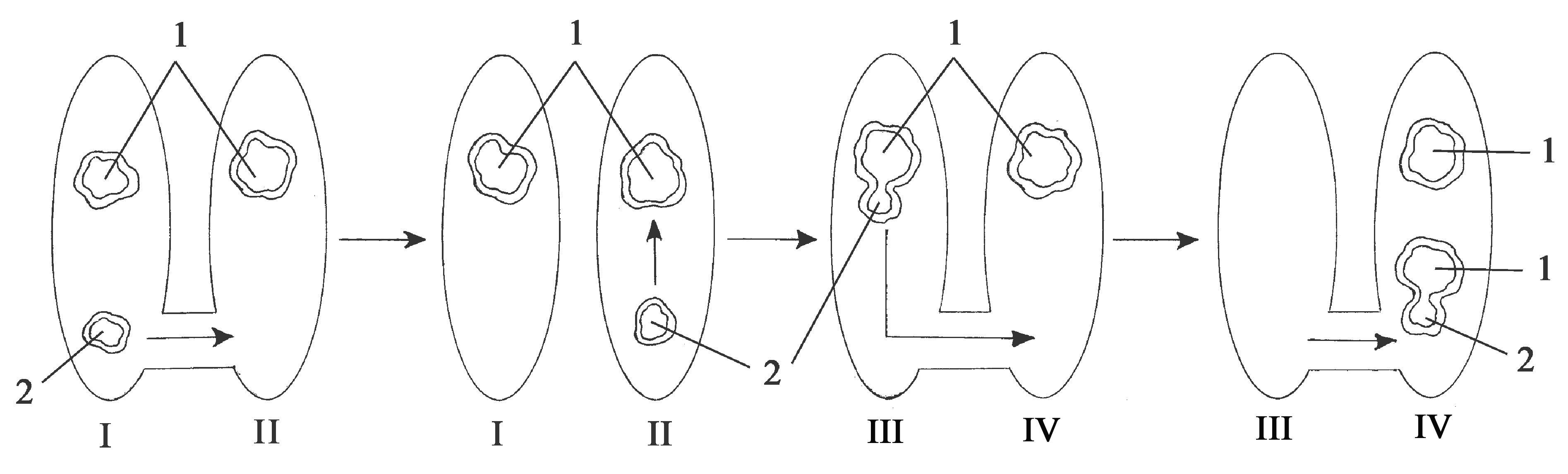 схема размножения хламидомонады