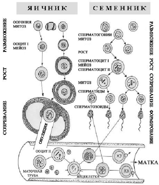 В фазе деления созревания сперматогенеза клетки