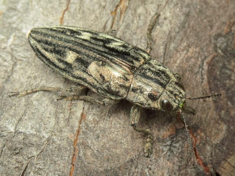 патриарх жуки в сибири названия и фото исхожены километры