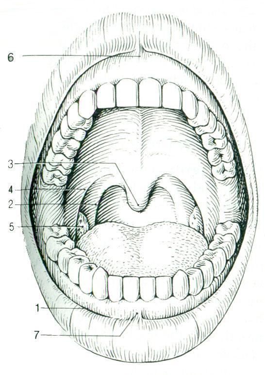схема полости рта человека стиль
