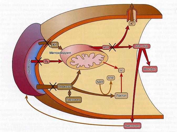 Цитология и гистология легких
