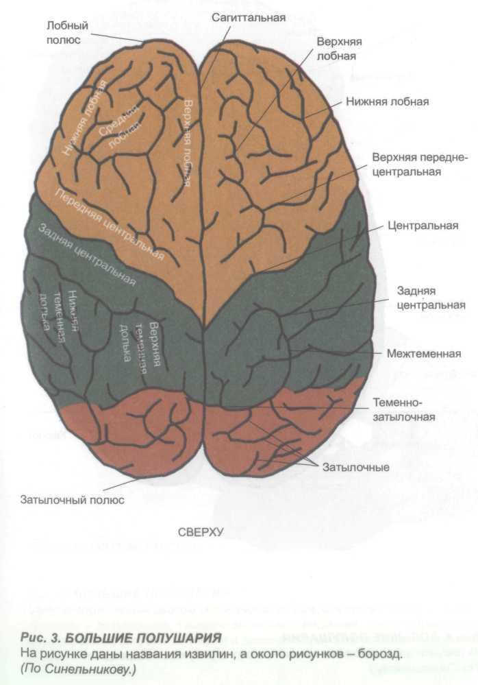 большие полушария мозга картинка серебра источник