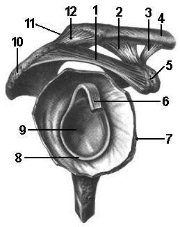 Суставы верхних конечностей таблица