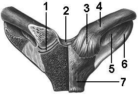 Грудино-ключичный сустав: строение