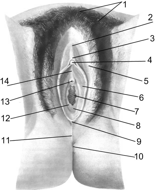 пенис строение женского полового органа крупно выкладываем