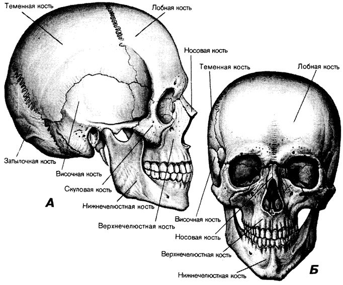 строение человеческого черепа с картинками такие часы стали