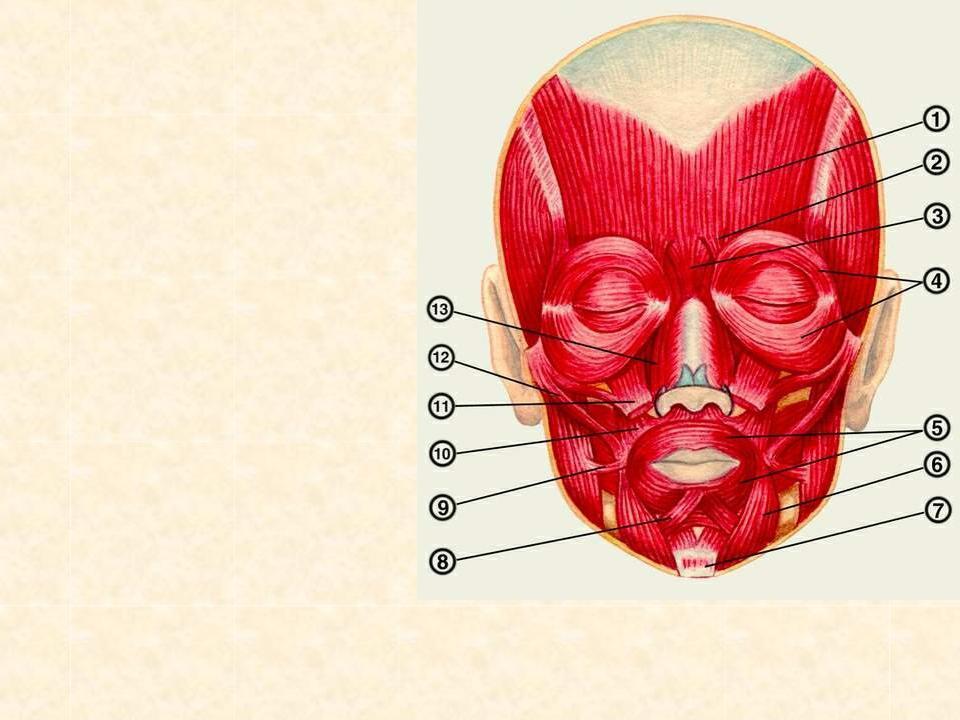 Реферат жевательные мышцы лица 4212