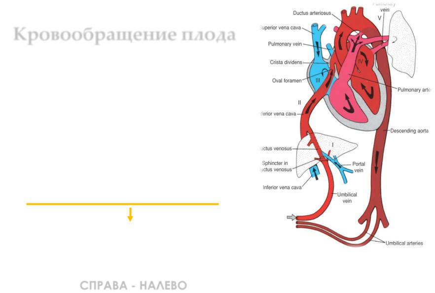 Кровообращение плода и новорожденного реферат 2815