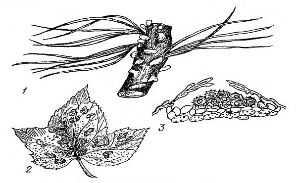 Болезни сосны: фото, описании и лечение