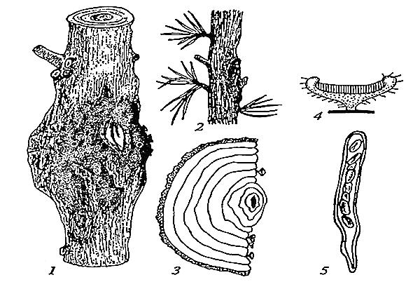 сосудистый микоз дуба