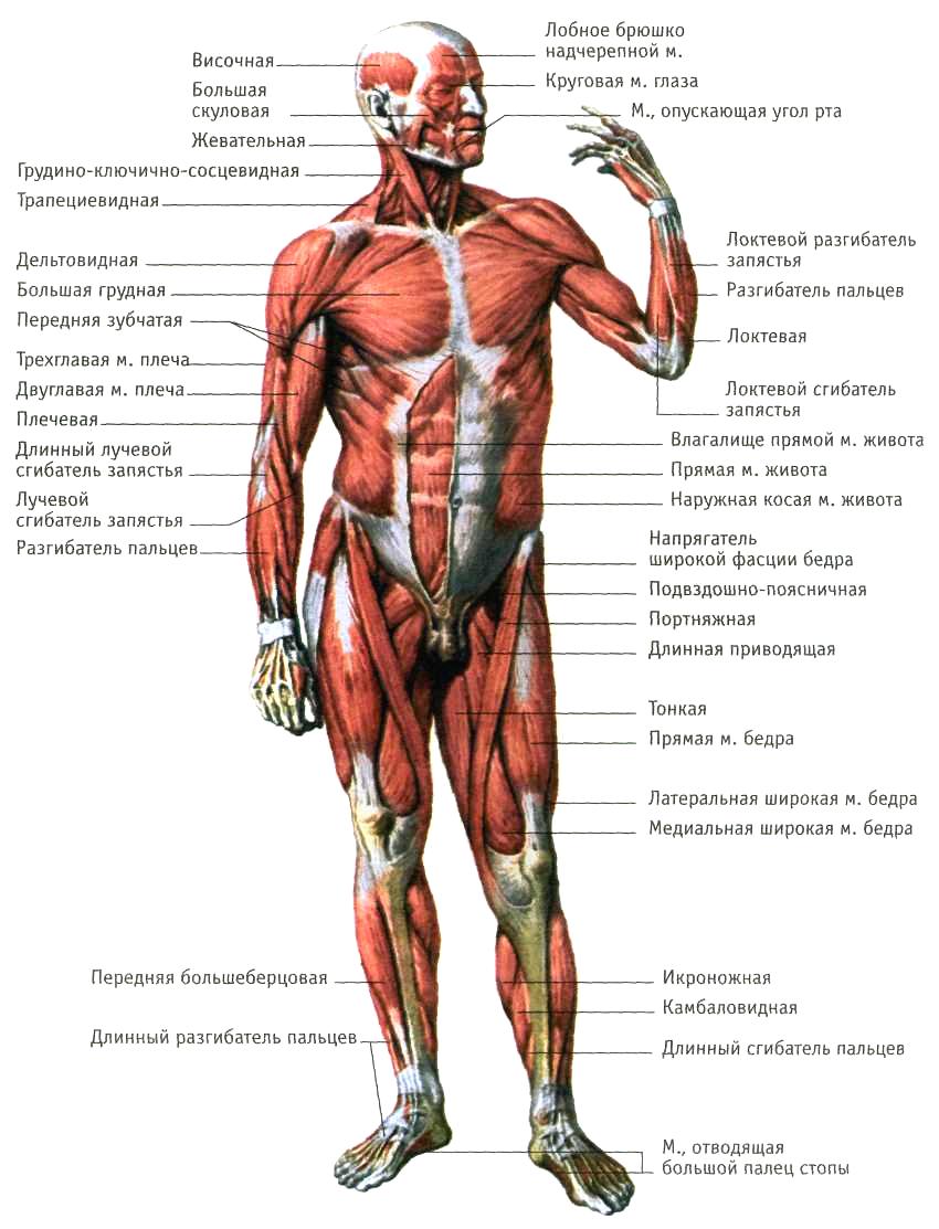 мышцы человека фото с описанием мышц бодибилдинг позволяет