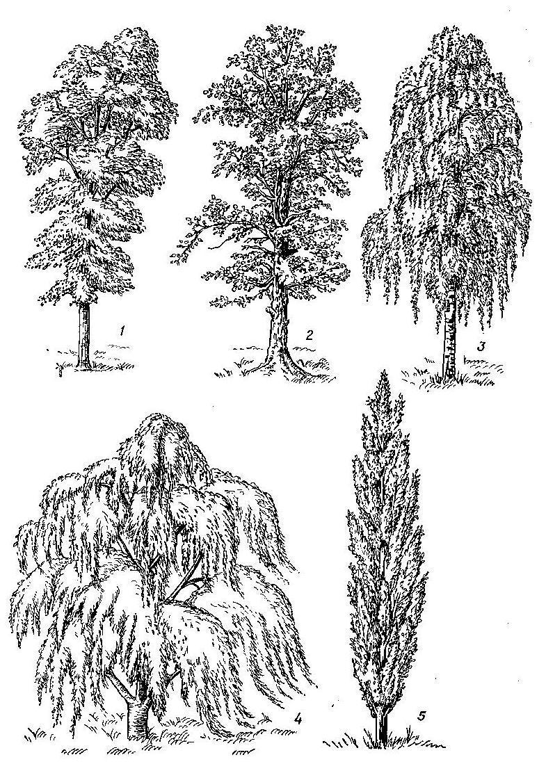 Рисованные картинки тополя