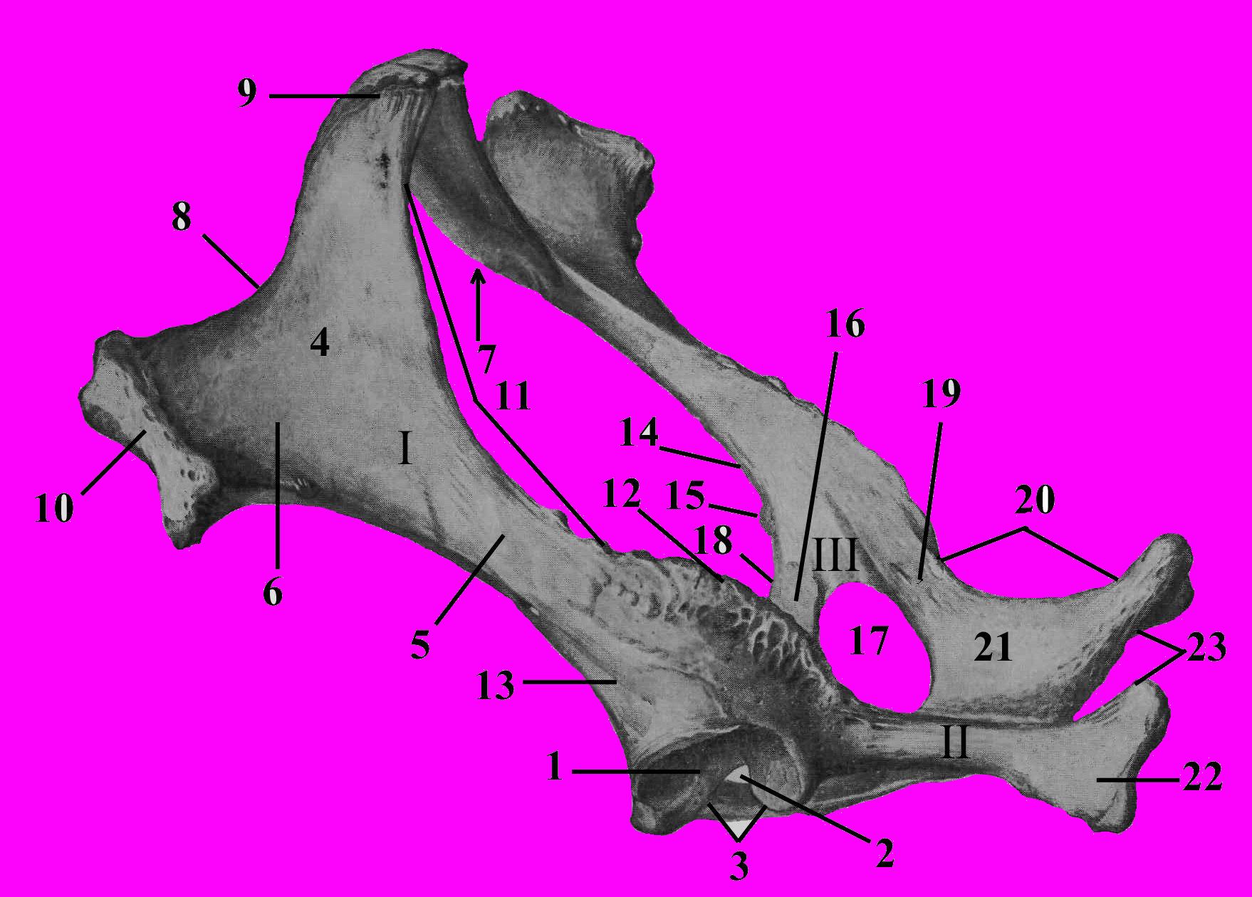 Попеско п атлас анатомии домашних животных том 3