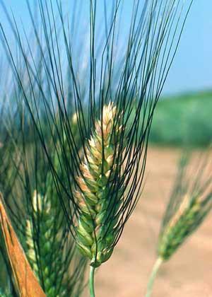 Содержание Рисунок 1 Внешний вид пшеницы Дурум