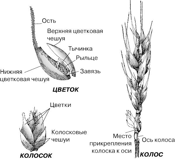 Содержание Анатомическое строение колоса пшеницы представлено на рисунке 2