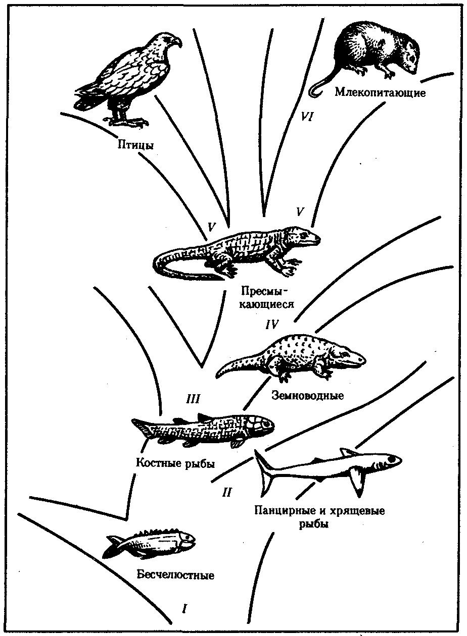 Схема эволюции позвоночных