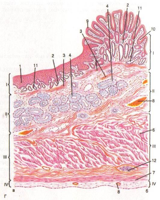 Желудок гистология рисунок