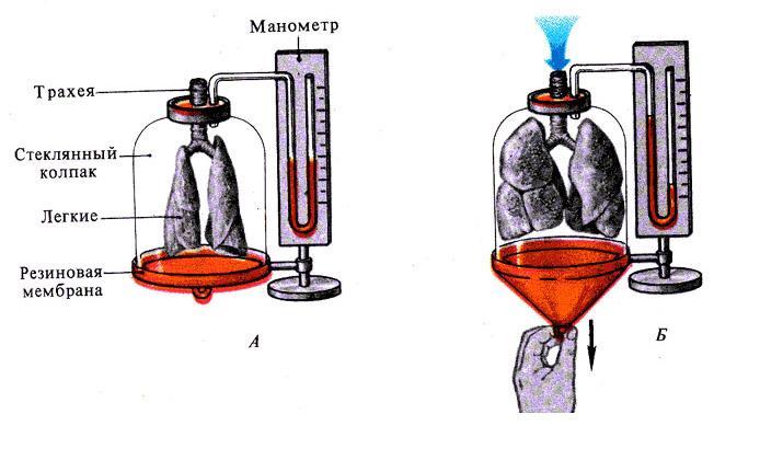 Лабораторная работа по биологии дыхательные движения девушка модель дондерса работа девушка буденновск