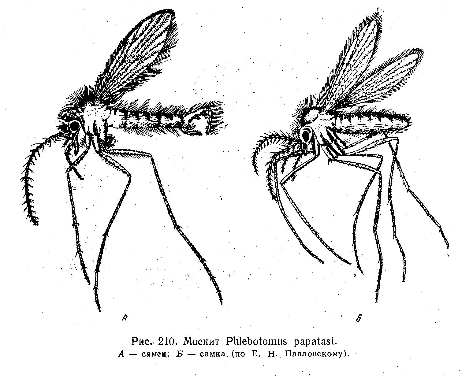 Малярийный комар - это... Что такое Малярийный комар?