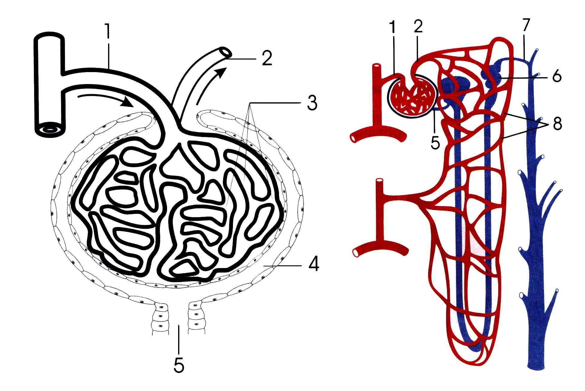 структура нефрона картинка мала