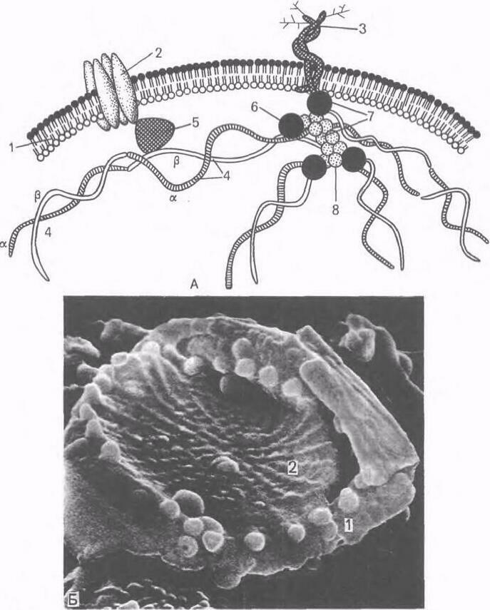 Эритроцит: строение, форма и функции. Строение эритроцитов человека