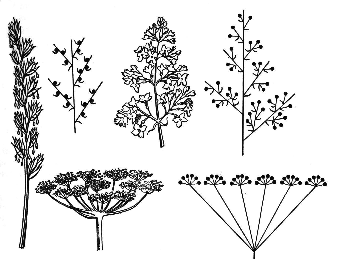 Картинки соцветия растений