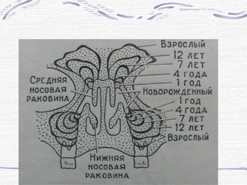 строение носа и пазух в картинках кости цены туры ближайший