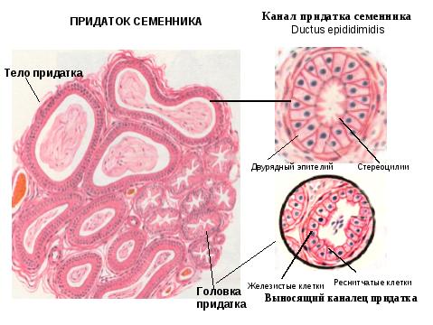 Стереоцилии и сперма