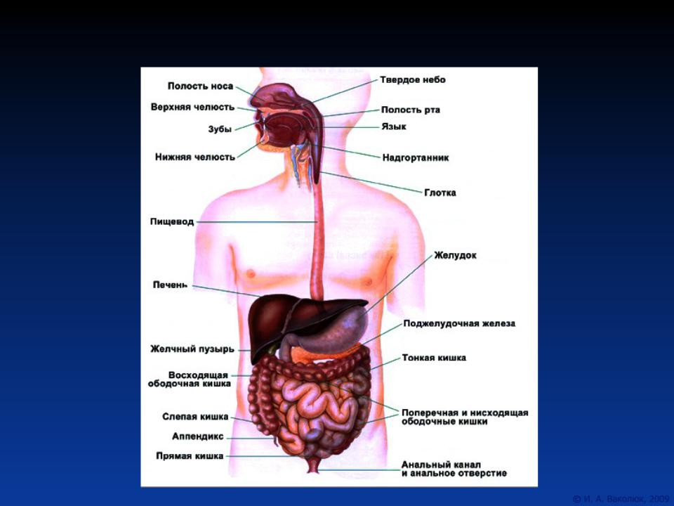 Строение желудка и кишечника фото