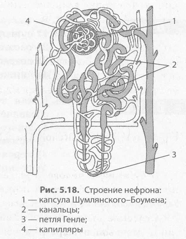 структура нефрона картинка тона могут внести