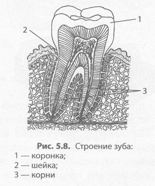 Рисунок зубов человека огонь гаснет