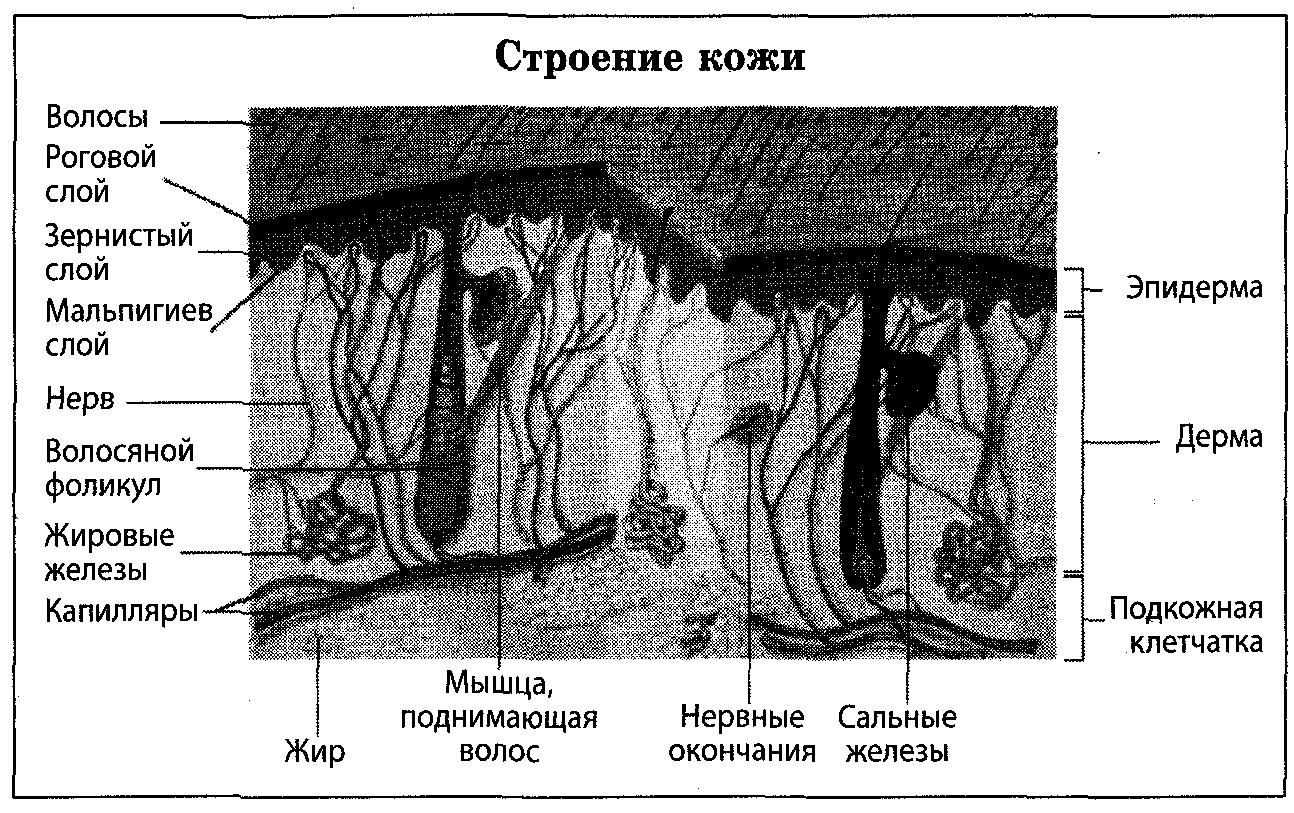 Картинки строение человека в разрезе