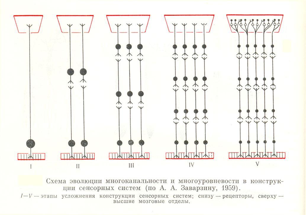 Продолговатый мозг (medulla oblongata): анатомия, строение и функции, за что отвечает, нервные центры