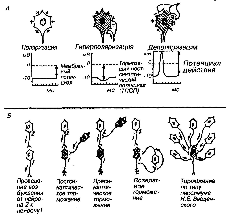 Функции варолиева моста