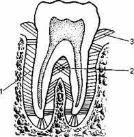 Анатомия наружного носа. Хрящи наружного носа
