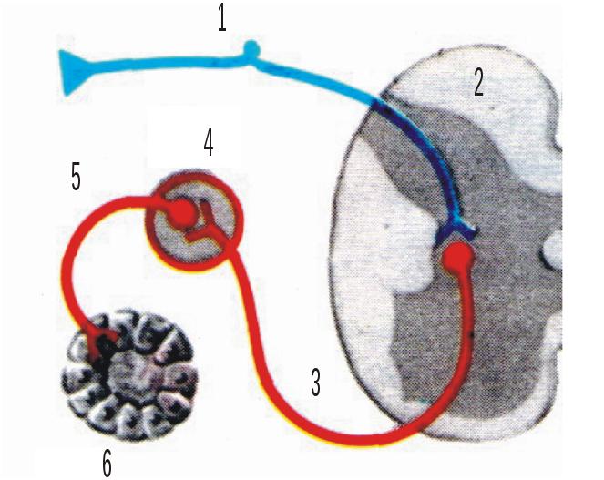 Рефлексы спинного мозга, их разновидности и функции
