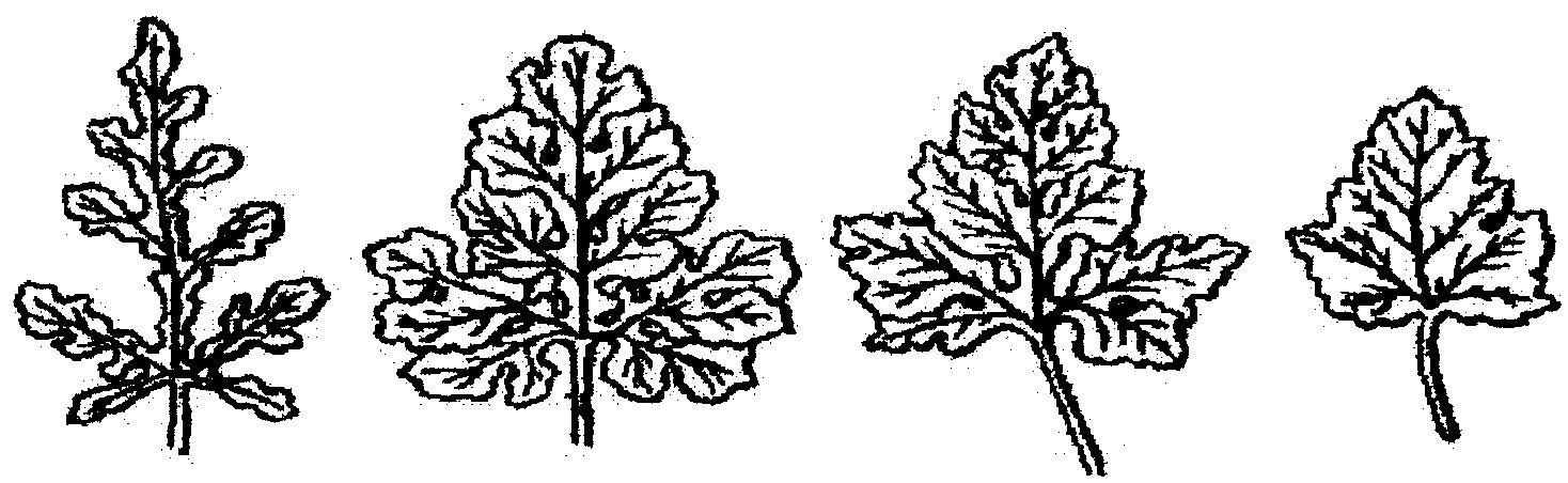 Листья арбуза картинки для детей