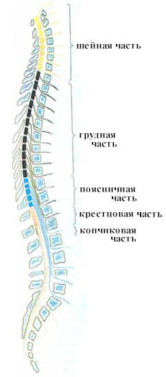 Физиология спинного и головного мозга