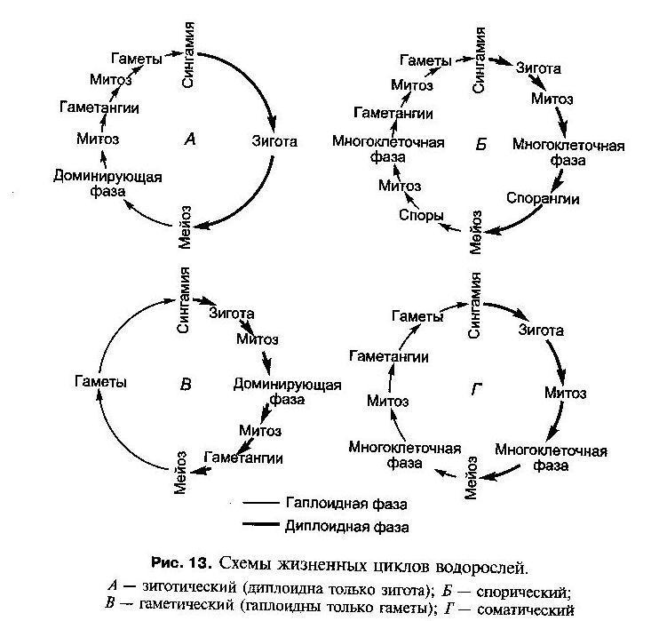 Жизненный цикл батрахоспермума